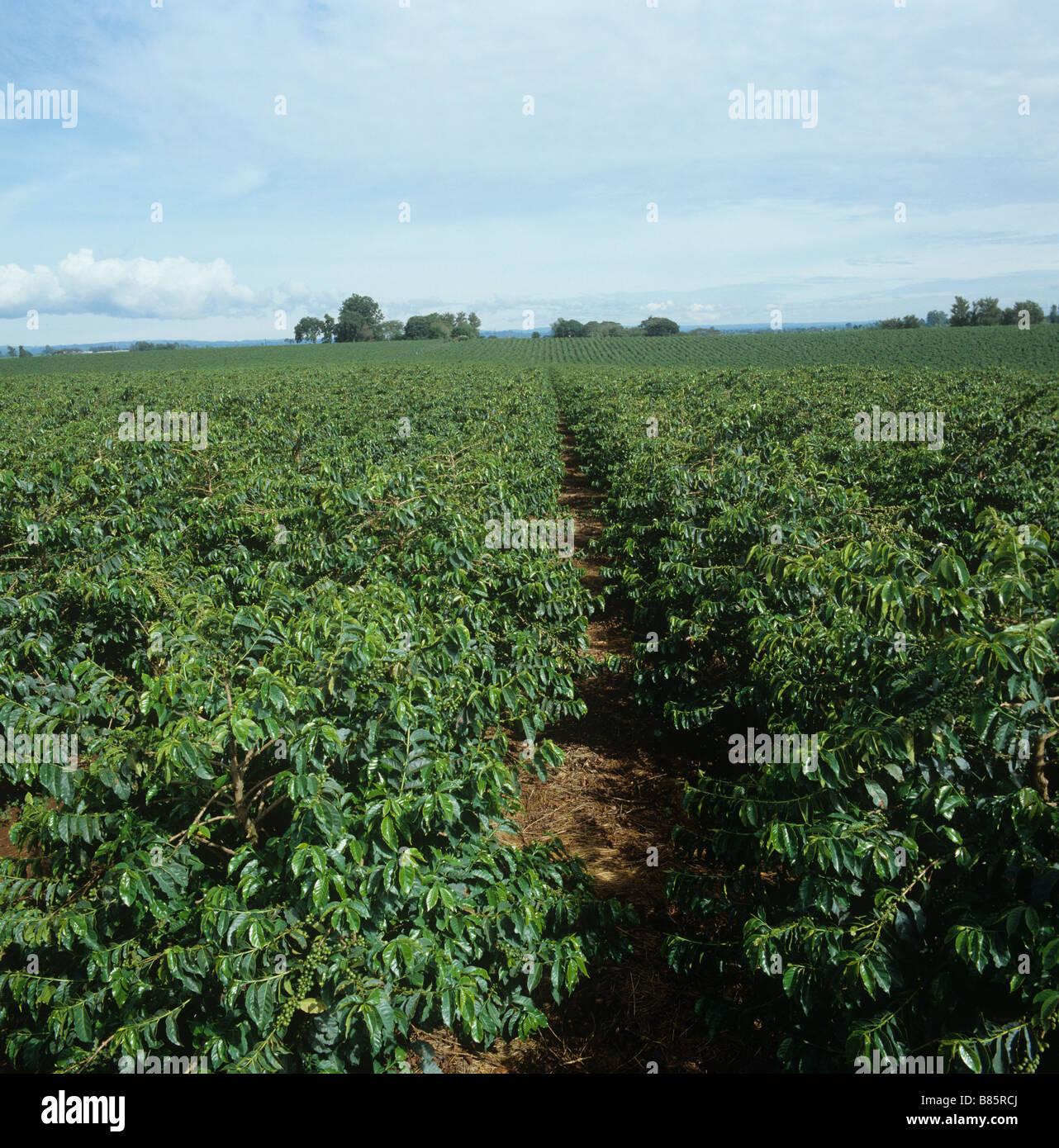 Los arbustos de café arábica en una gran plantación comercial cerca de Nairobi (Kenia) Imagen De Stock
