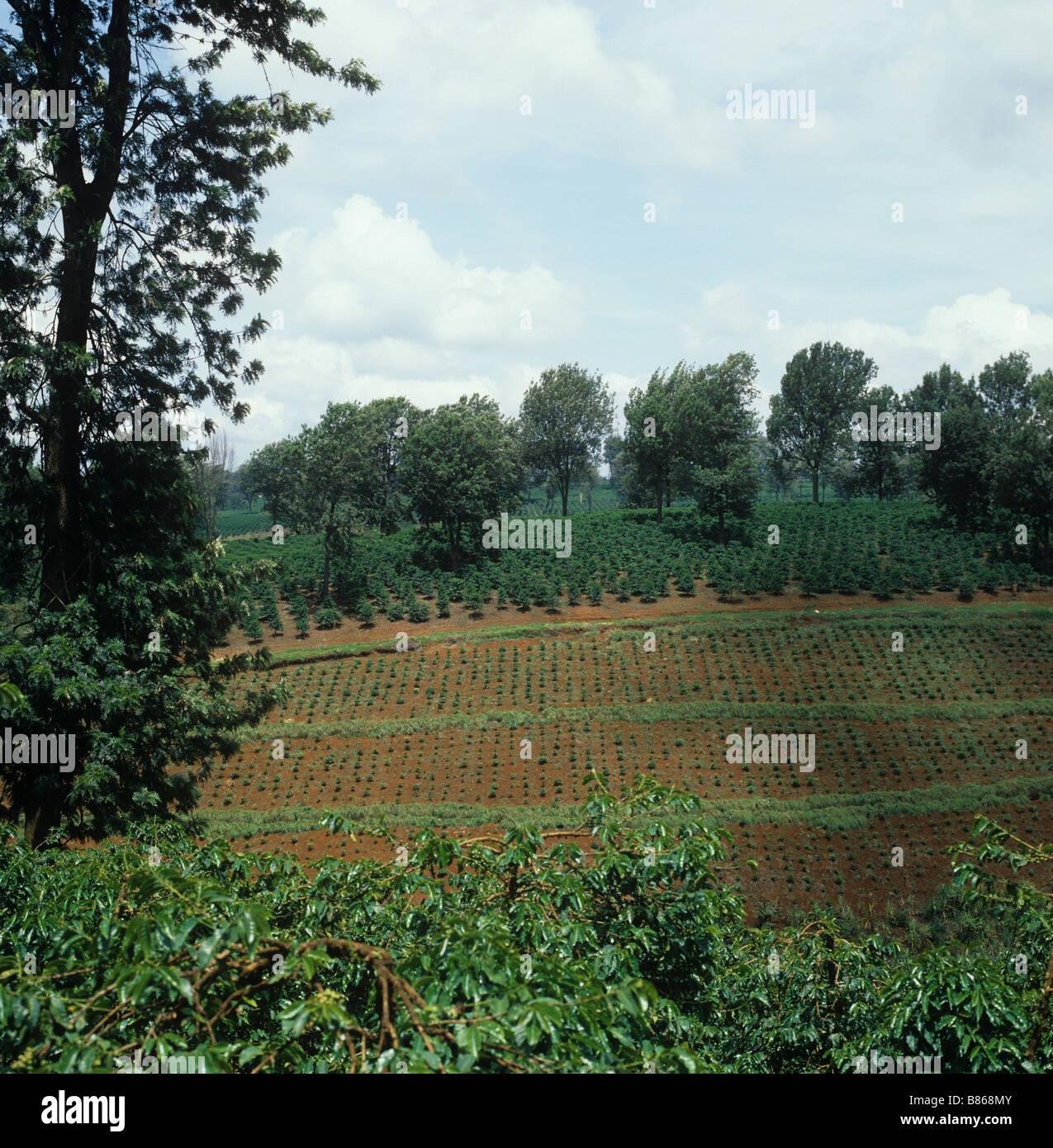 Vista de jóvenes recién plantado en plantaciones de café arábica con árboles de sombra Imagen De Stock
