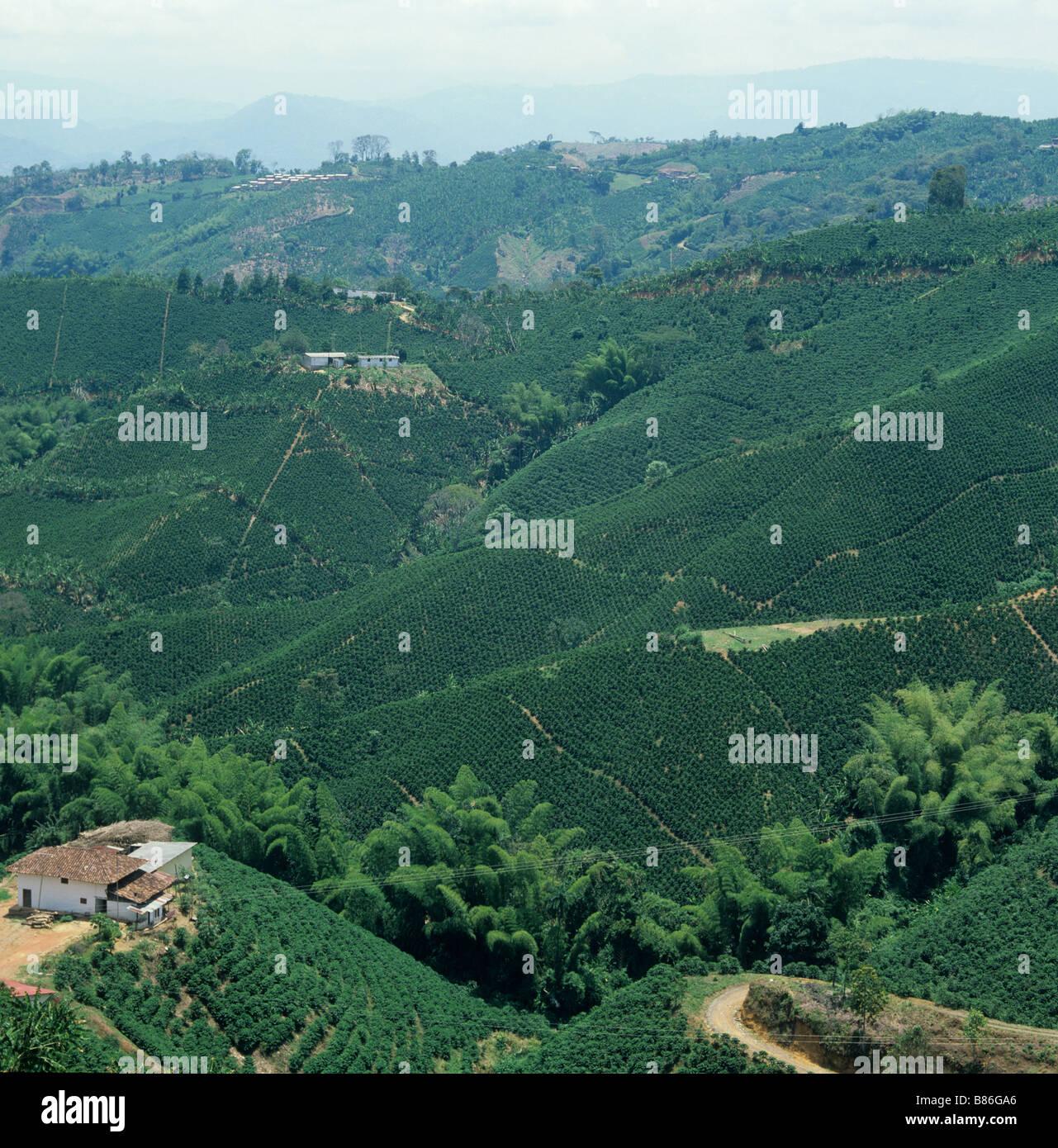 Las plantaciones de café de llanura sin árboles de sombra en Colombia Sudamérica Imagen De Stock