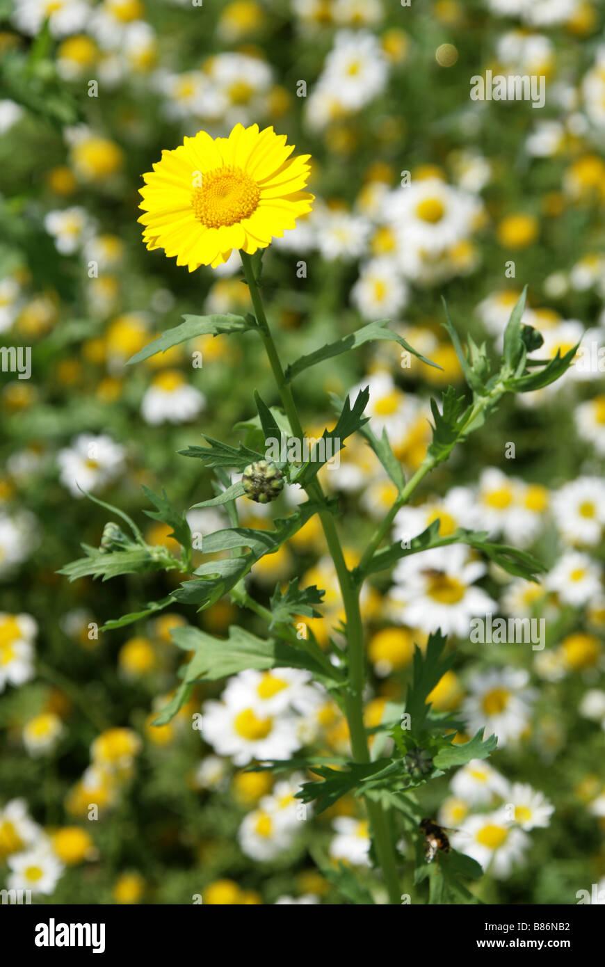 Caléndula, Chrysanthemum segetum maíz, Asteraceae y margaritas de Ojo de Buey Chryanthemum leucanthemum Foto de stock