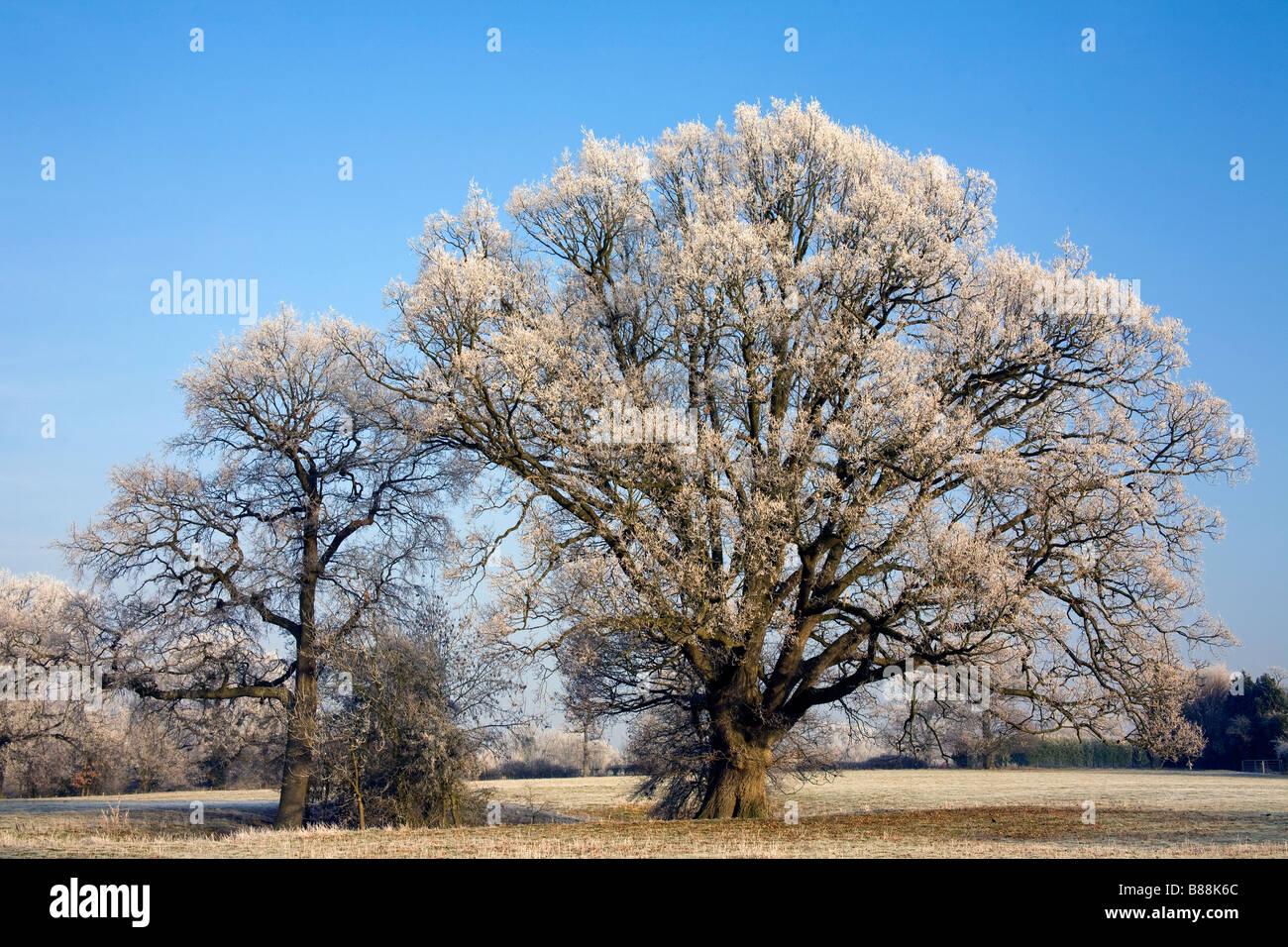 Árboles de esmerilado en invierno frost Goudhurst Kent UK Foto de stock
