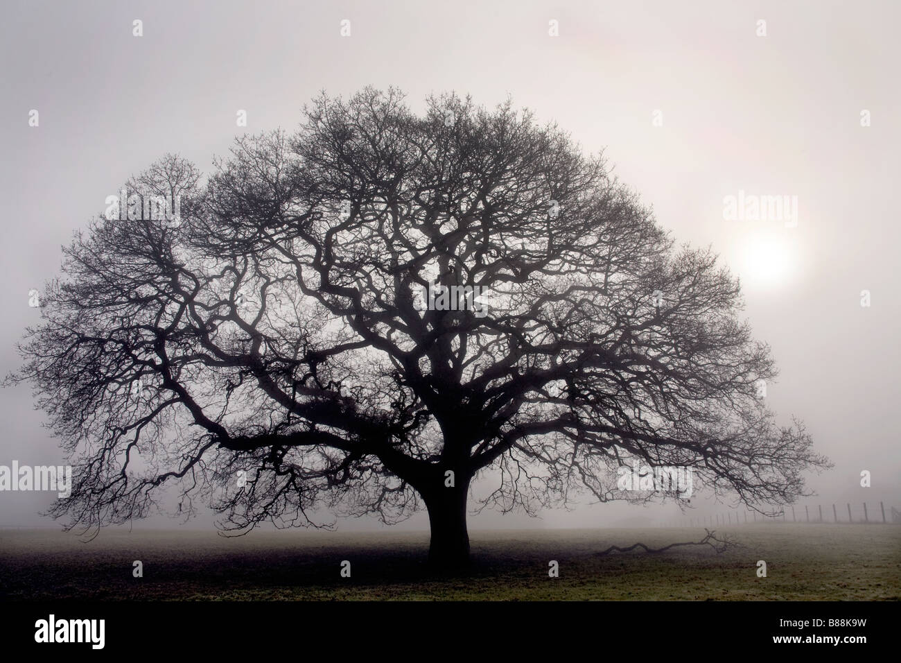 Roble en una espesa niebla cerca de Sandhurst Kent UK Foto de stock