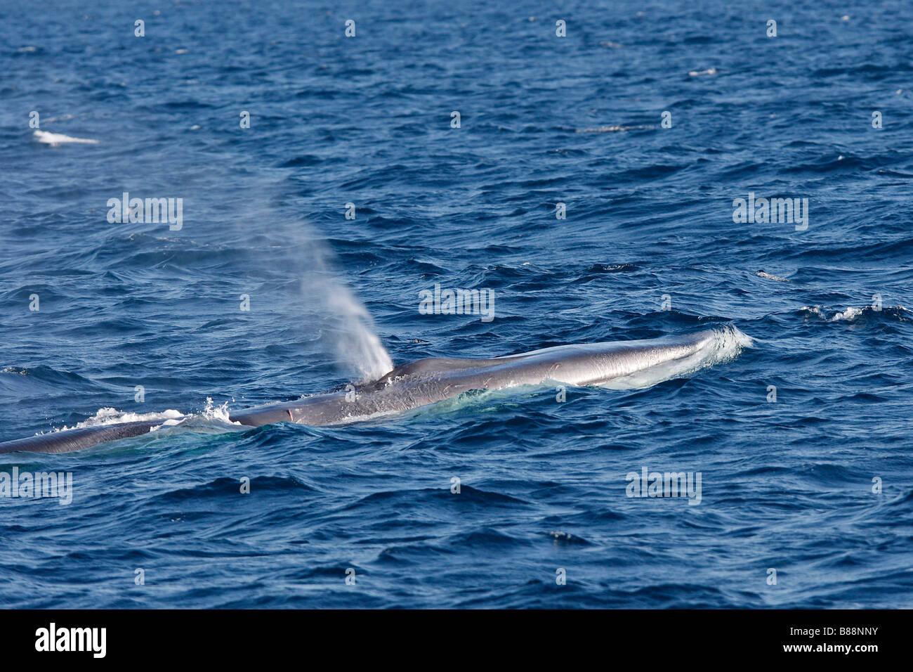 Rorcual común, ballena Finback, Rorqual común (Balaenoptera physalus), adultos en superficie, soplado Foto de stock