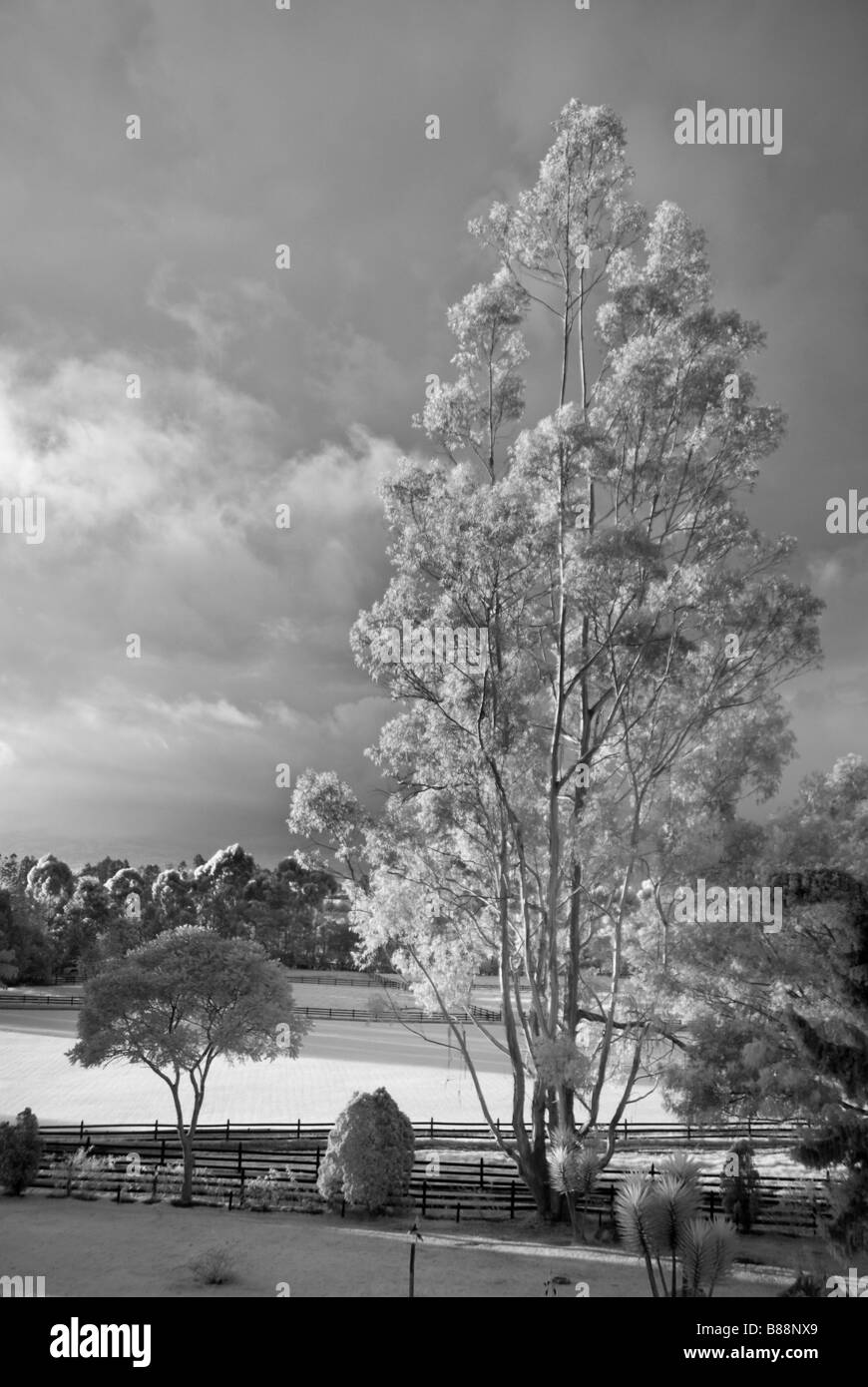Árbol de eucalipto y campos de polo de la Sabana, cerca de Bogotá, Colombia Imagen De Stock