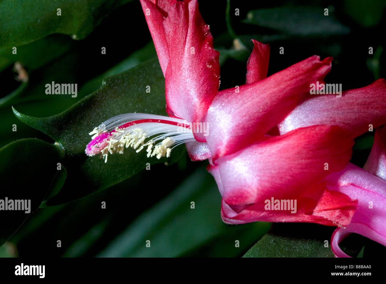 La flor de un cactus de navidad Imagen De Stock