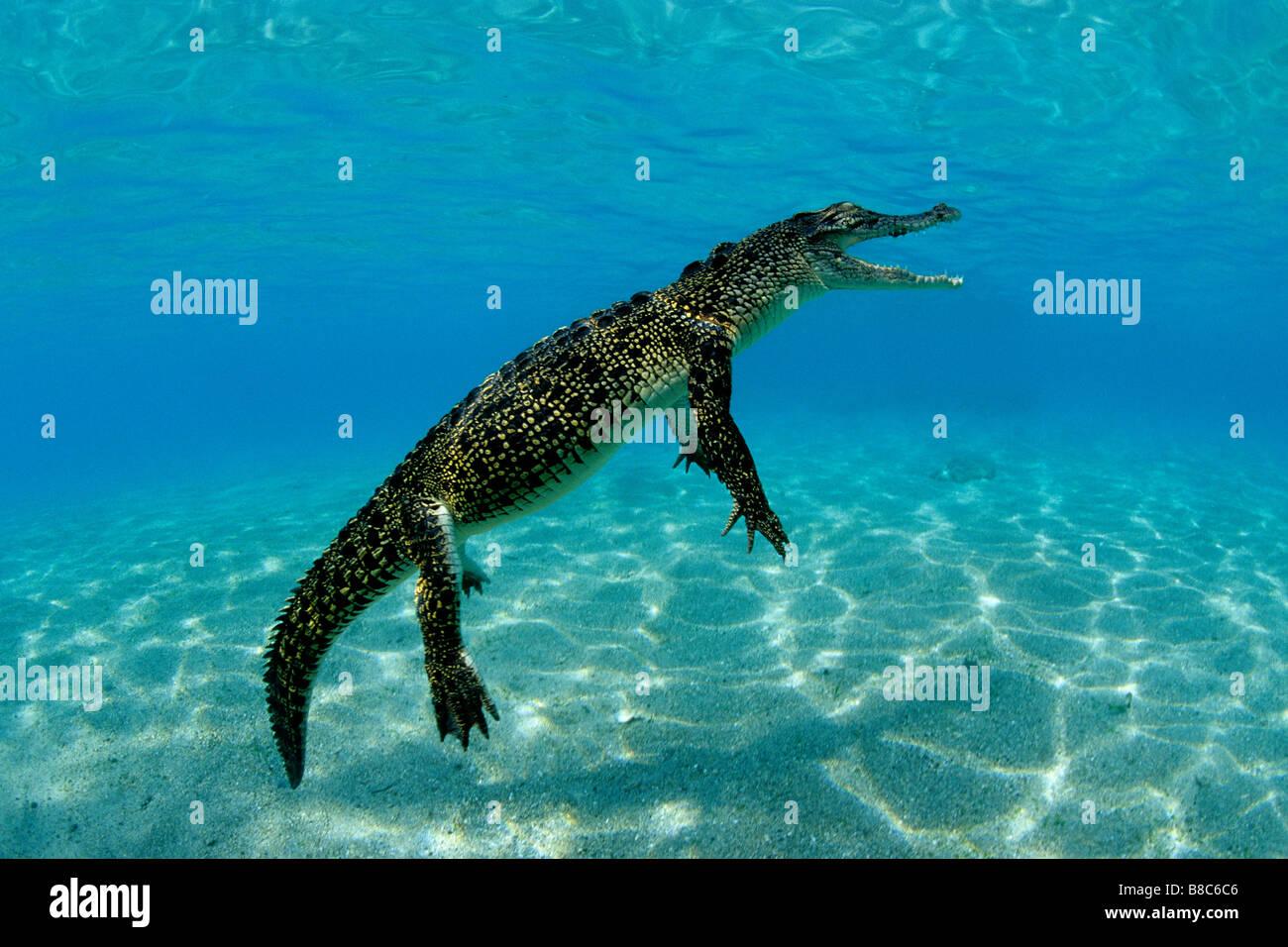 El cocodrilo de agua salada Foto de stock