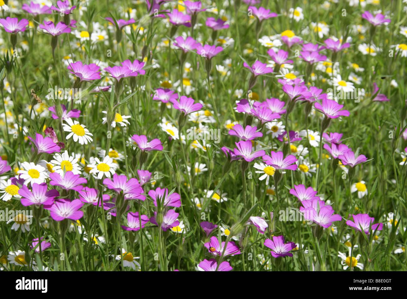 Agrostemma githago maíz, berberechos, Caryophyllaceae y margaritas de Ojo de Buey Chryanthemum leucanthemum Foto de stock