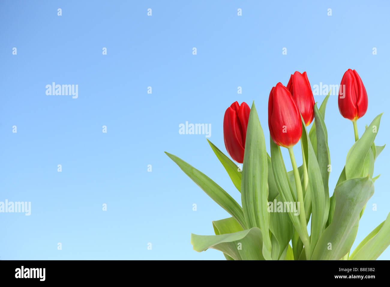 Tulipanes rojos con fondo de cielo azul Foto de stock