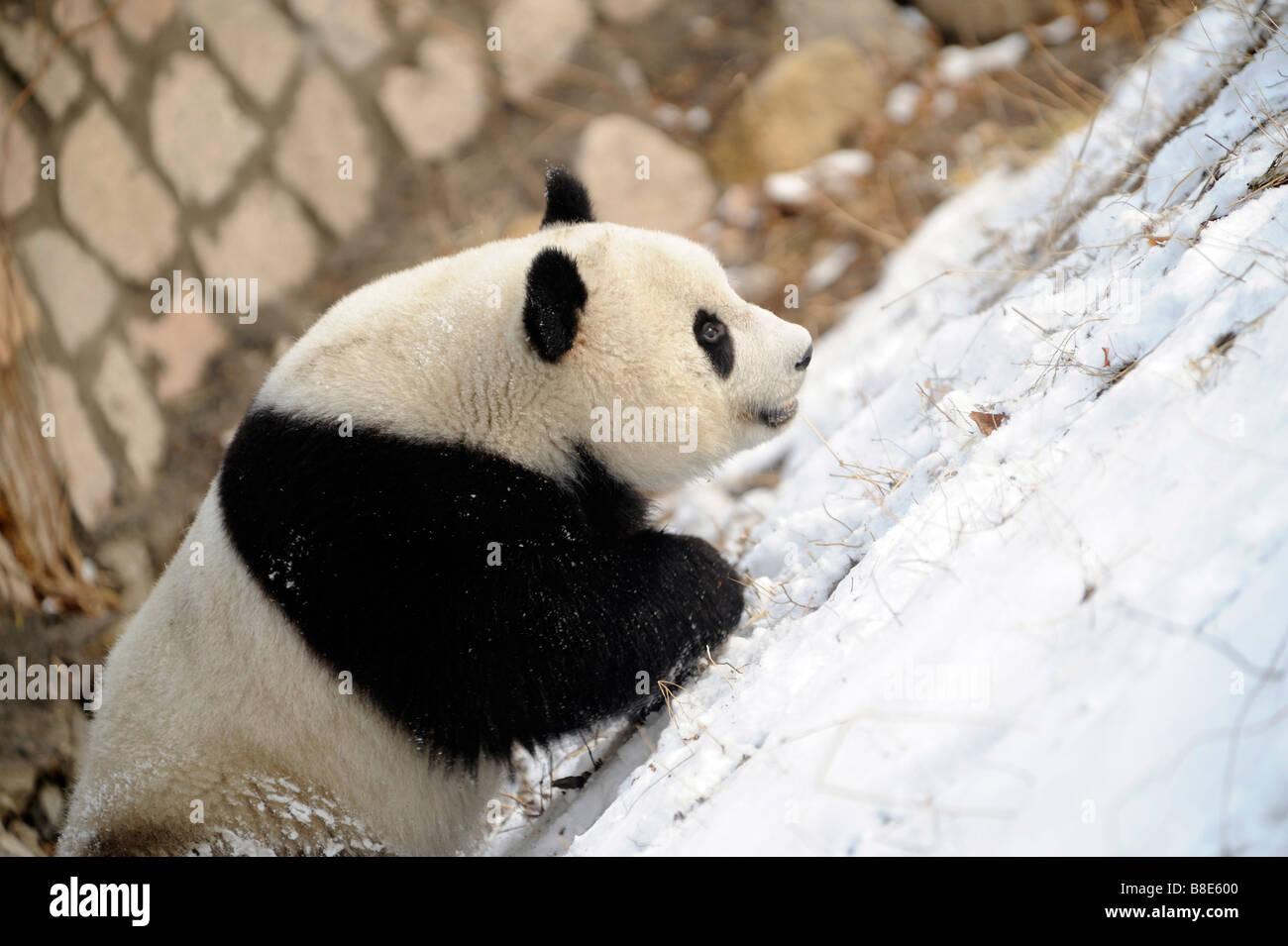Un panda gigante en el Zoológico de Beijing. 19-Feb-2009 Imagen De Stock