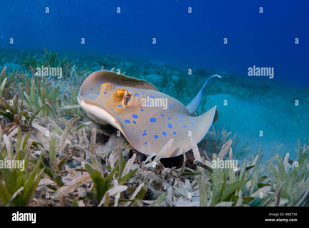 Blue-spotted sting ray en la hierba de mar abajo en el Mar Rojo. Imagen De Stock