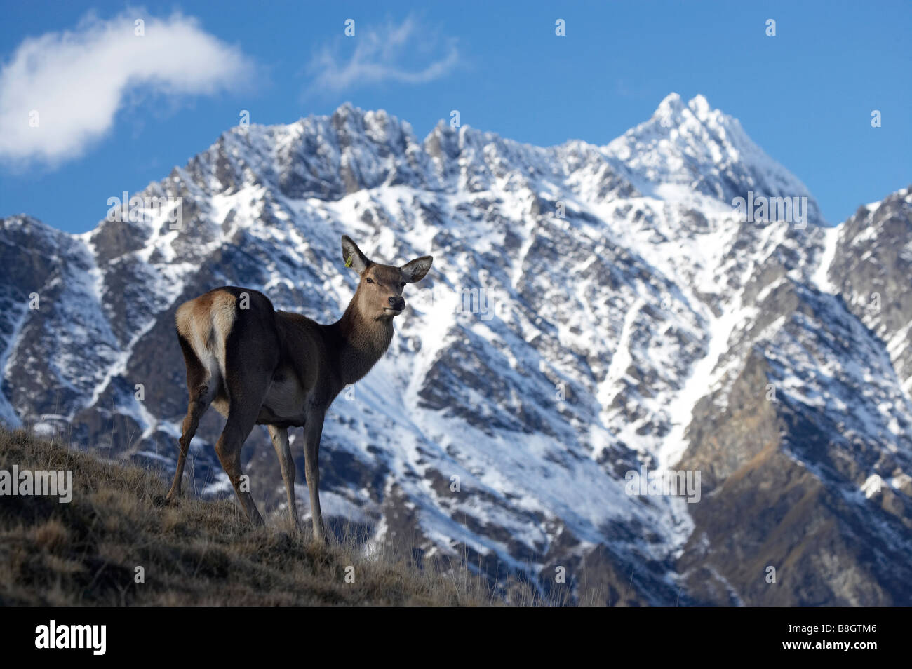 Ciervo rojo Cervus elaphus y The Remarkables Deer Park Heights Queenstown, Isla del Sur, Nueva Zelanda Imagen De Stock