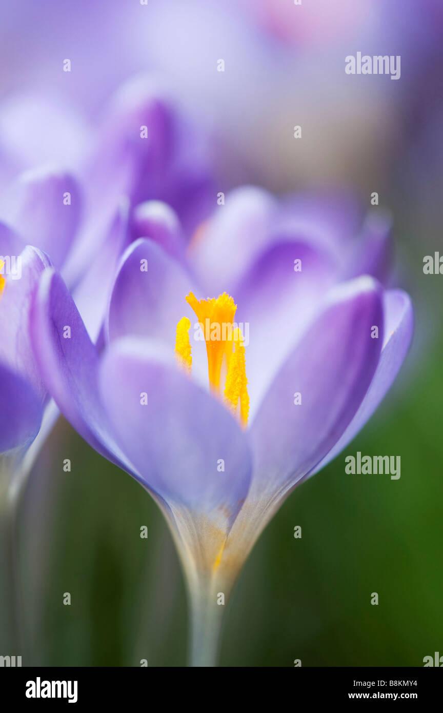 Crocus vernus 'Reina del blues' flores de primavera Imagen De Stock