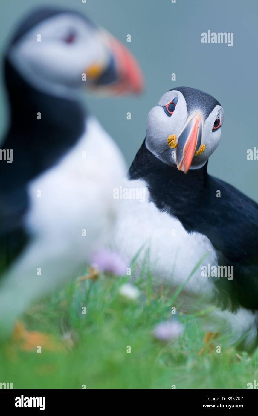 Fratercula arctica frailecillo Sumburgh Head Shetland Junio Imagen De Stock