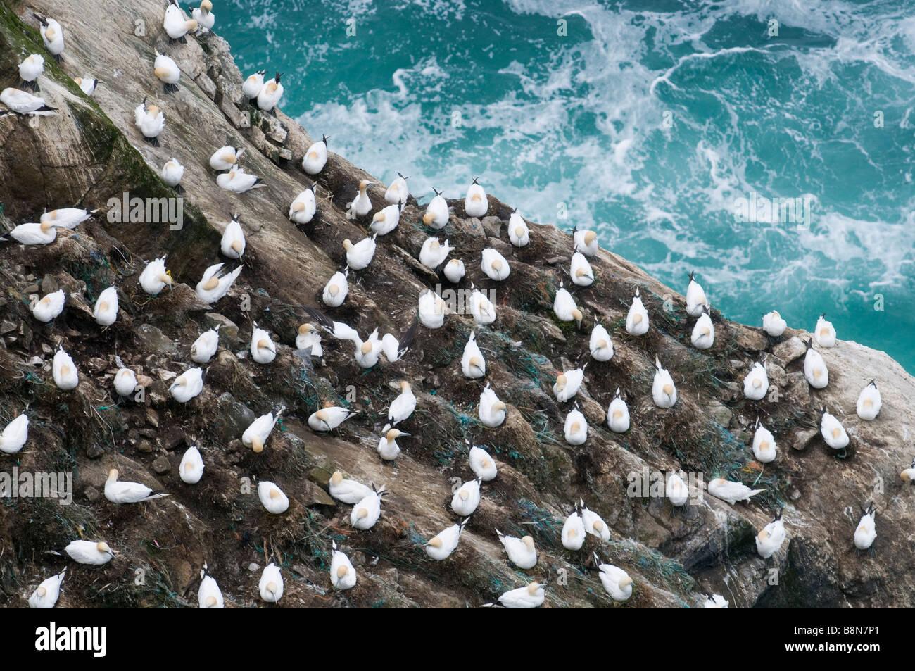 Gannett Sula bassana colonia en acantilado Hermaness Shetland Junio Foto de stock