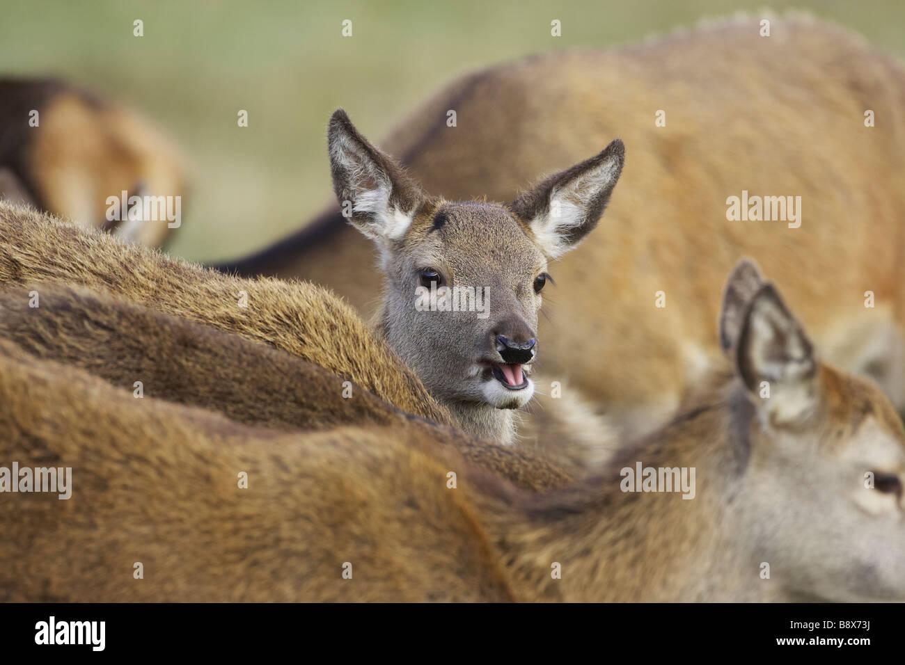 Ciervo rojo (Cervus elaphus), la pantorrilla entre grupo de hinds Imagen De Stock