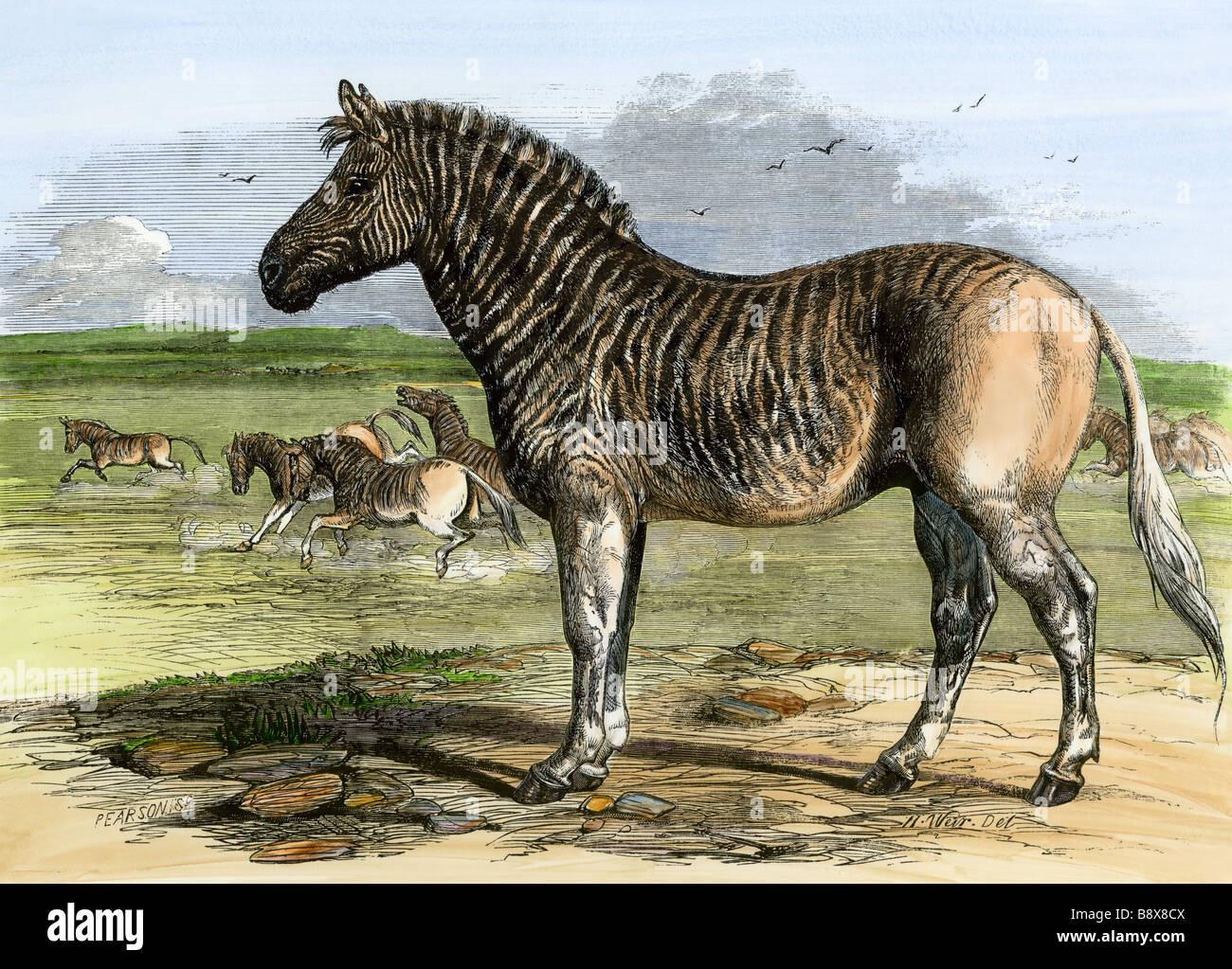Quagga Sudafricano, ahora extinto, en el Zoo de Londres, 1850. Xilografía coloreada a mano Imagen De Stock