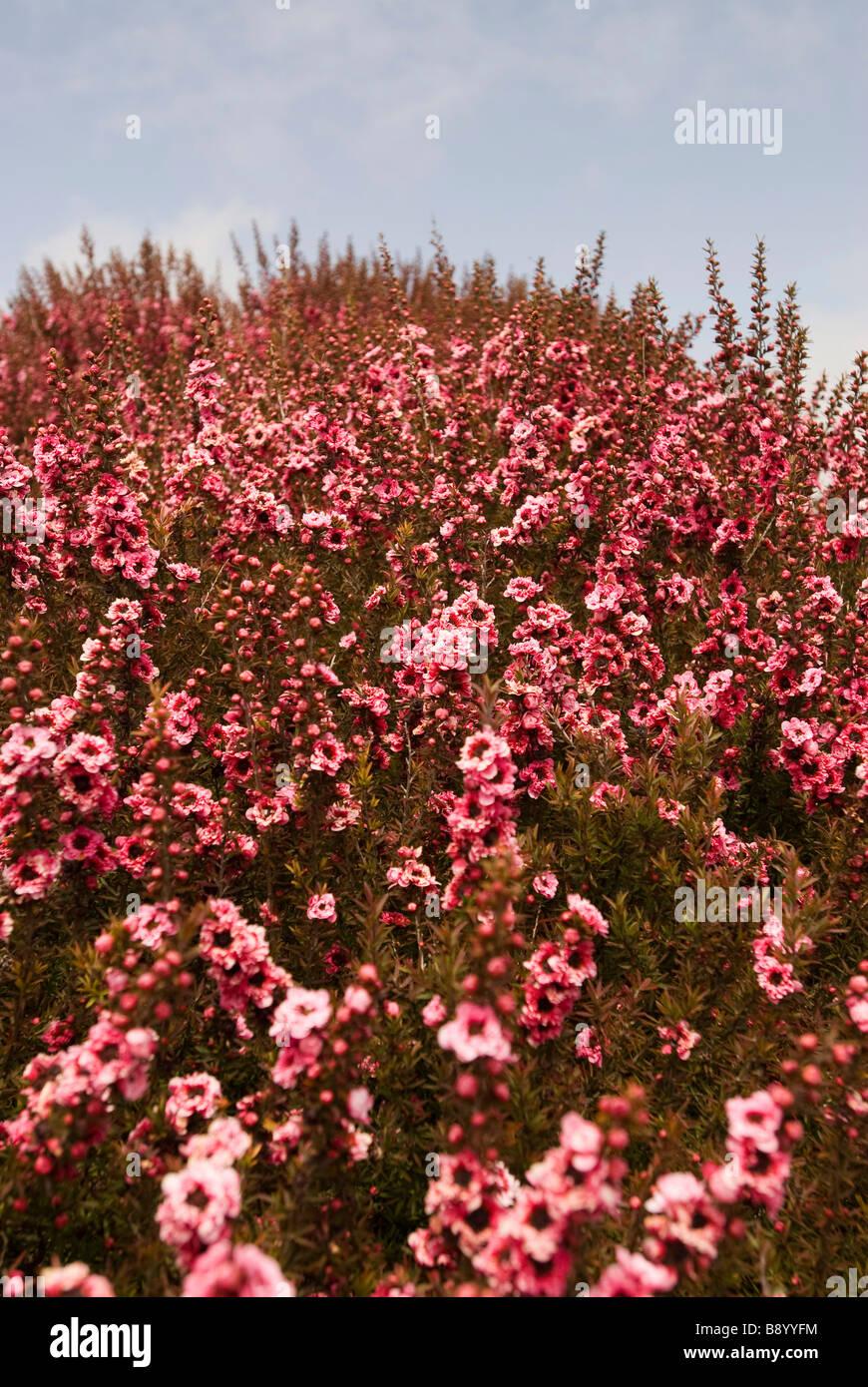 Flores de color rosa en la colina Foto de stock