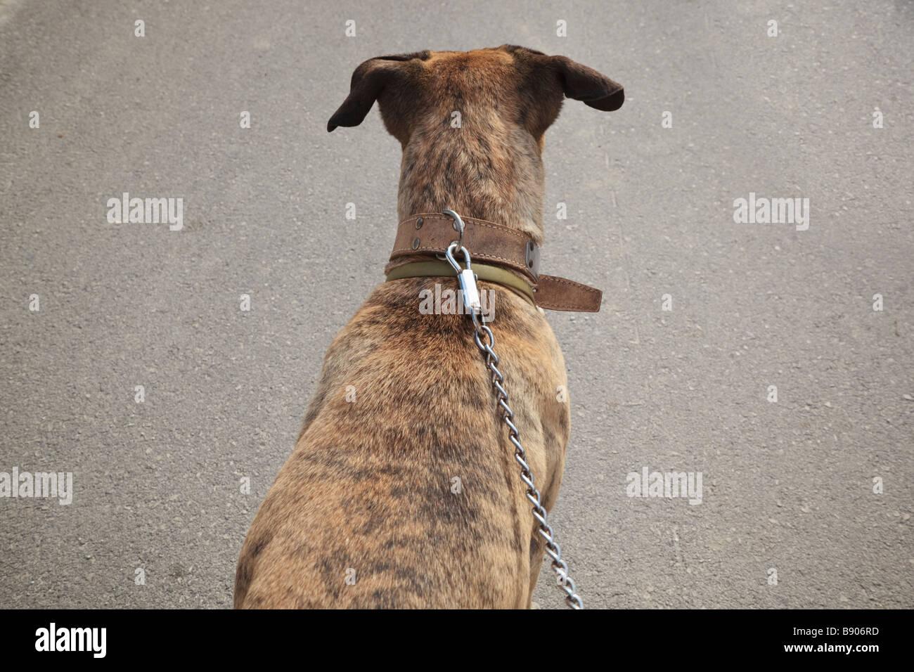 Perro de alerta sobre el plomo Imagen De Stock