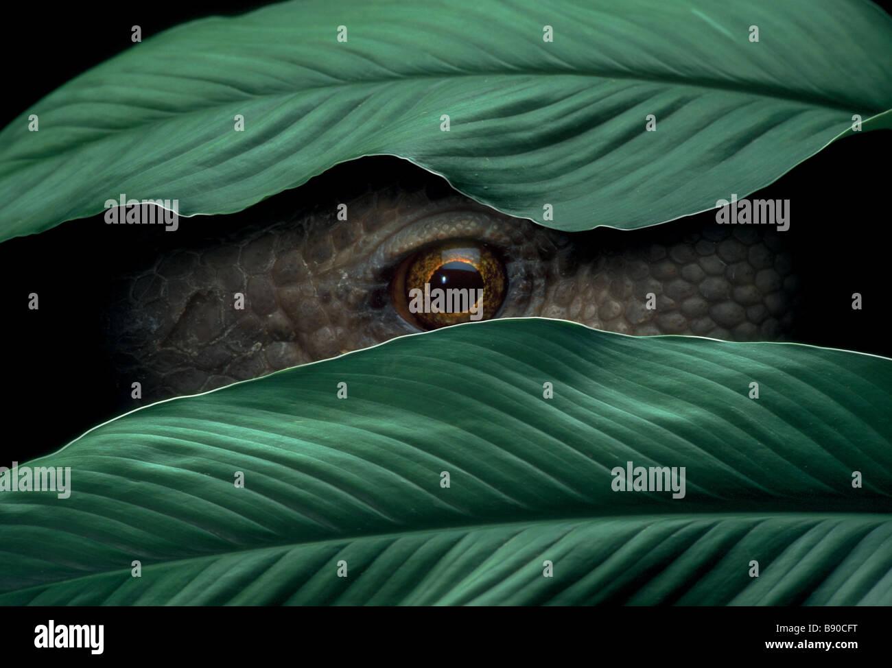 Conceptos # FL1150, Kitchin/Hurst; Reptil Peeking a través de hojas Foto de stock