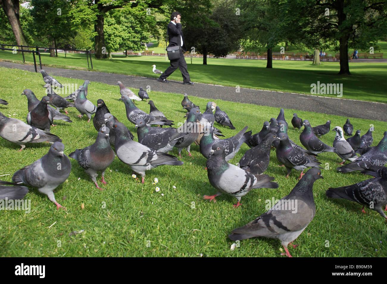 Feral palomas, palomas domésticas asilvestradas, Rock Las palomas (Columba livia domestica) en el parque de la ciudad con el transeúnte de teléfono móvil Foto de stock