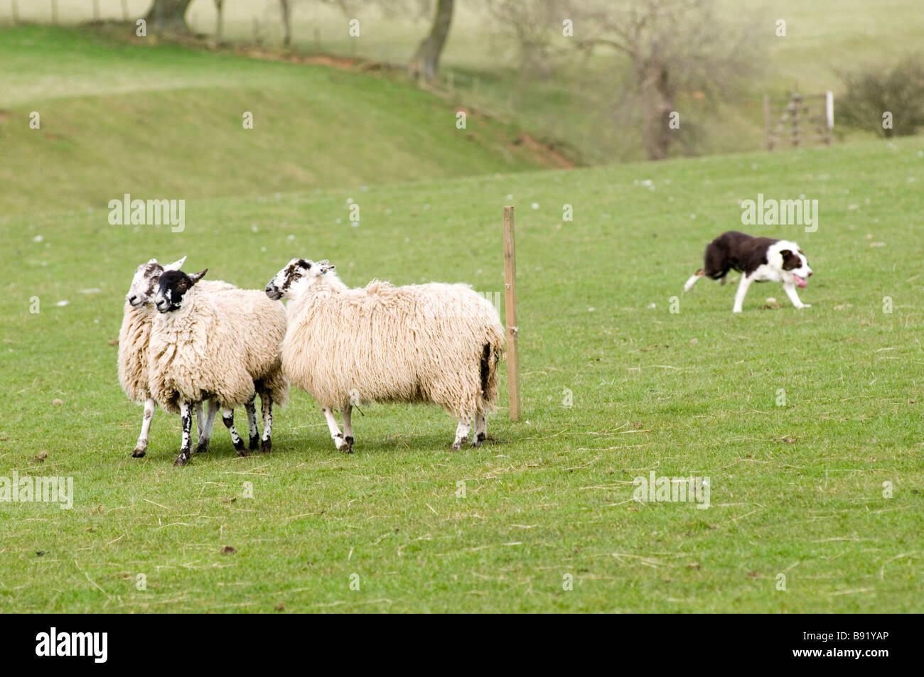 Ovejas perro ovejero prueba perros trabajando Sheppard redondeando un hombre y su país agrícola ganadero entrenamiento Foto de stock
