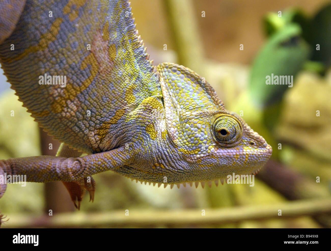 Lagarto reptil camaleón cambia de color Imagen De Stock