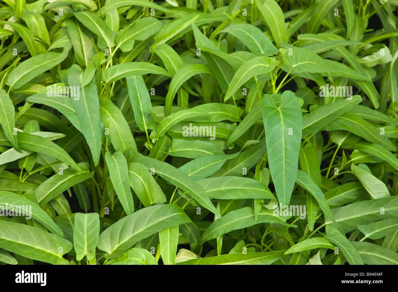 La ong choy agua espinacas crecen en invernadero.. Imagen De Stock
