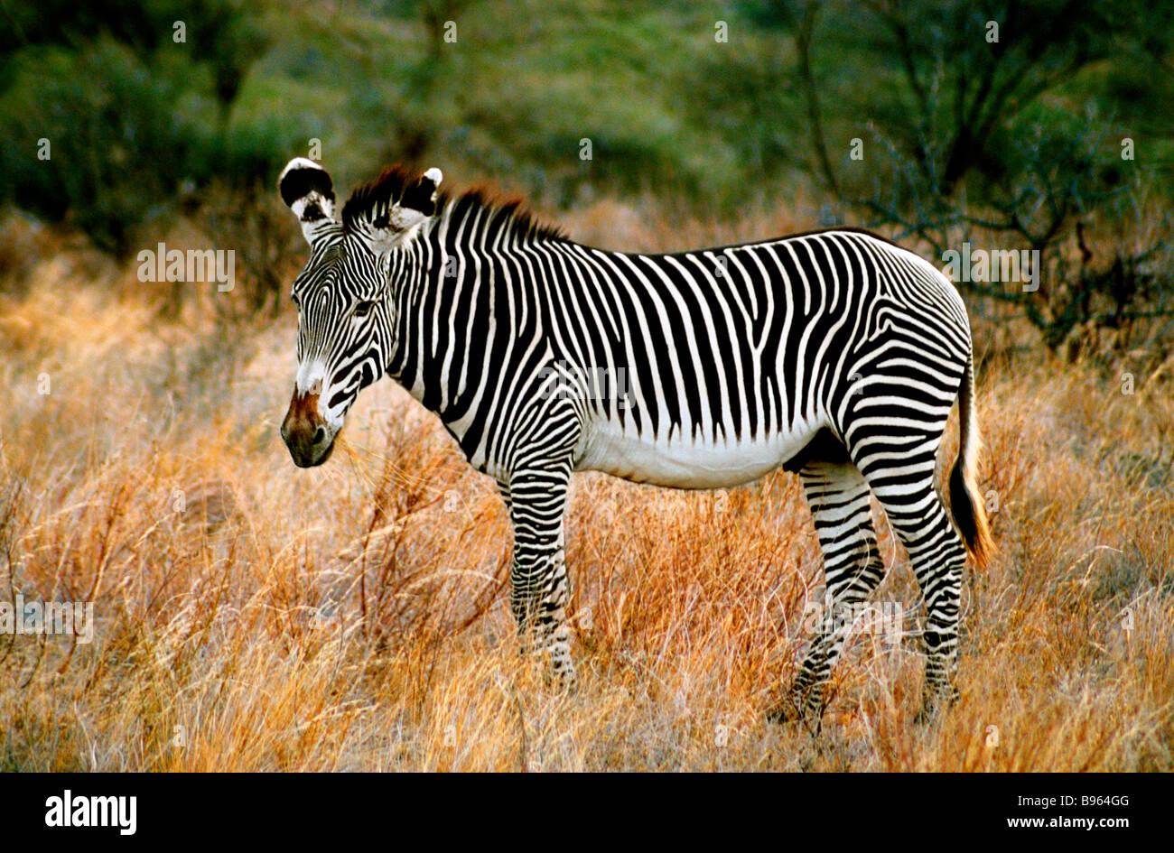 GREVY ZEBRA EN KENYA ÁFRICA Imagen De Stock