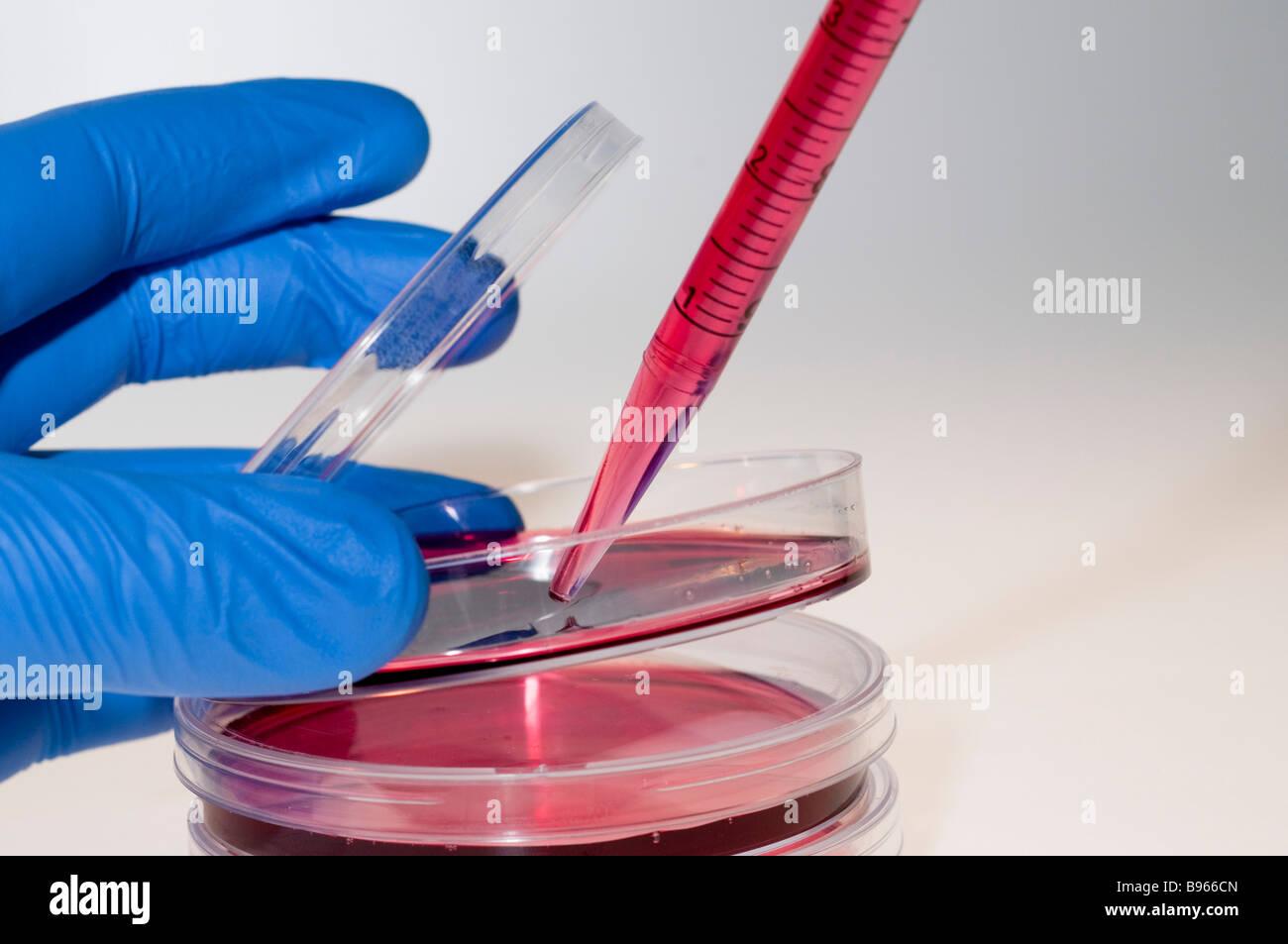 Los cultivos celulares en placas Petri Foto de stock