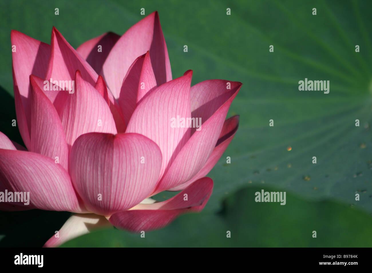 Flor de Loto con hoja que contiene unas pocas gotas de agua en el ...