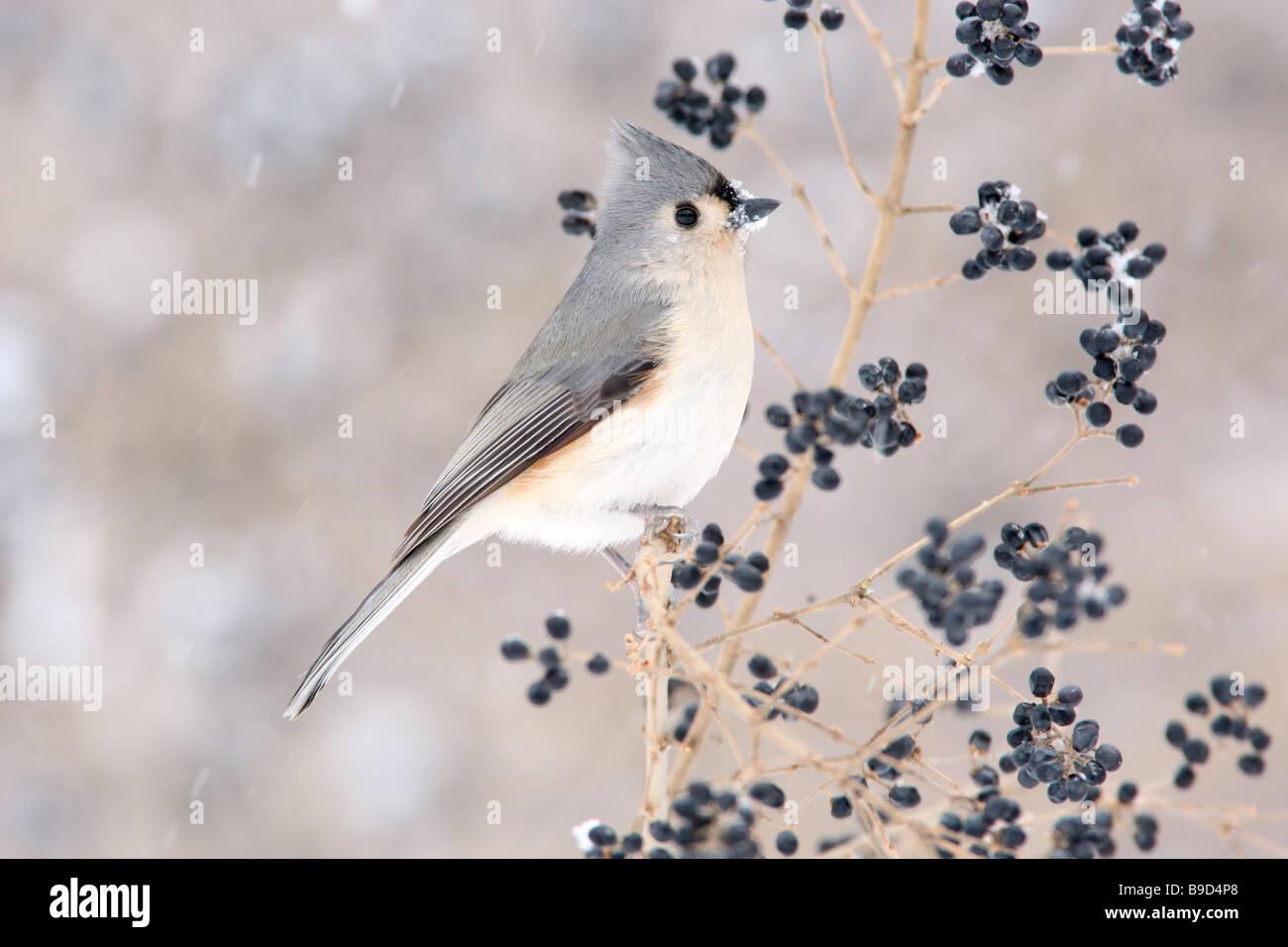 Tufted pajarito en el ligustro y la nieve del invierno Imagen De Stock