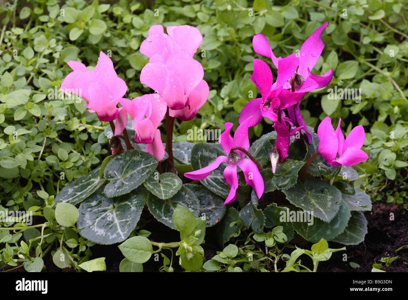 Plantas hibridas
