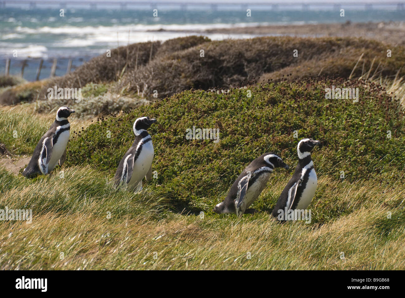 Elk198 4169 Chile Patagonia Seno Otway Reserva Pingüino pingüinos de Magallanes Spheniscus magallanicus Imagen De Stock