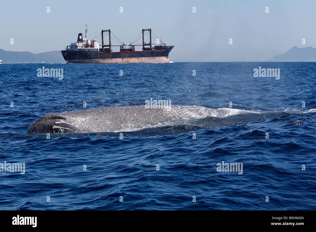 Cachalote (Physeter macrocephalus, Physeter catodon) y cargoship delante de Gibraltar Foto de stock
