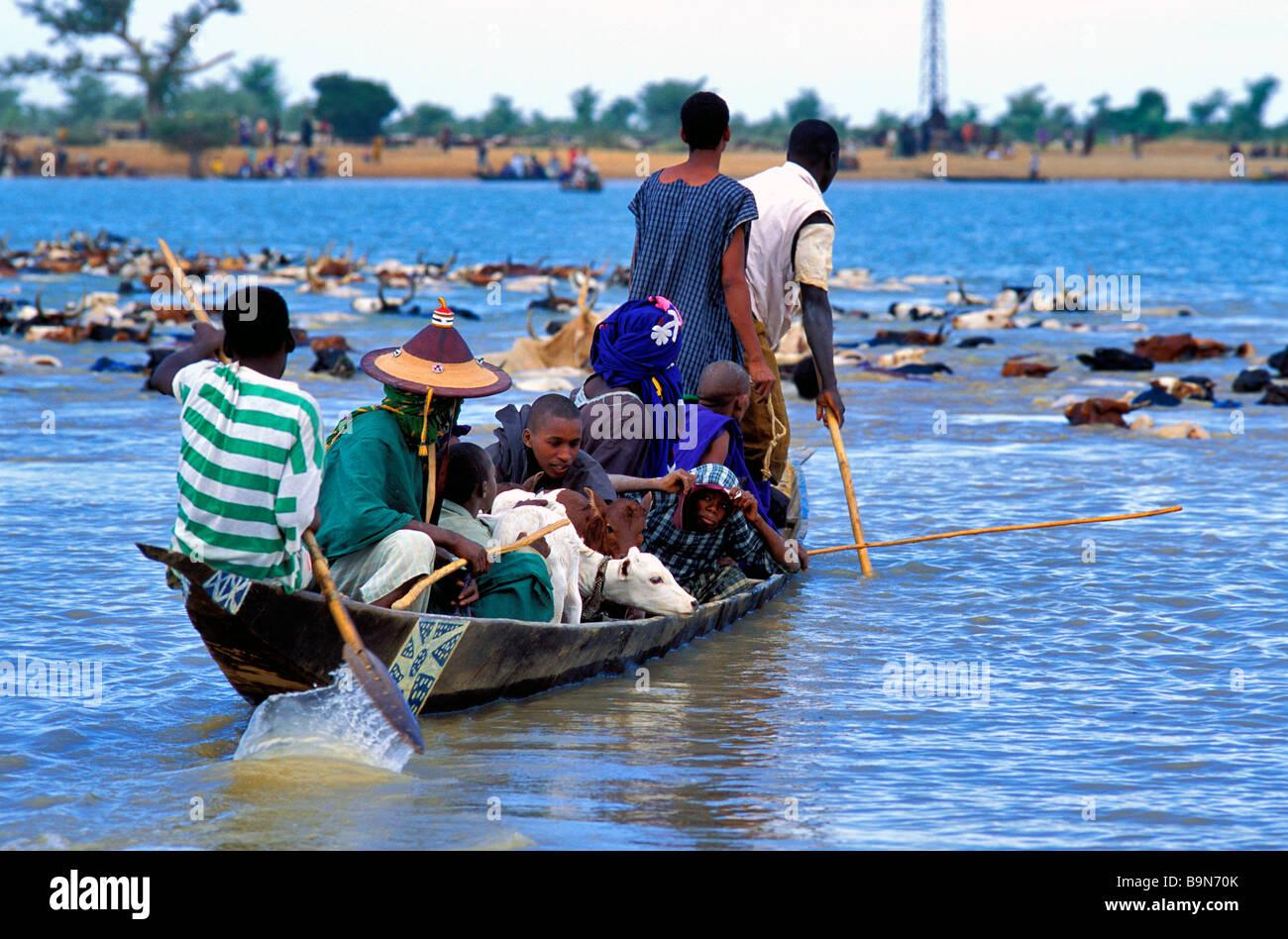 Malí, región de Mopti, Sofara fula, rebaños trashumantes, cruzar el río Bani Foto de stock