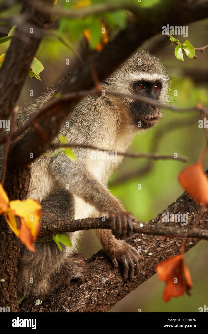 Vervet Monkey en la selva, el Parque Nacional Kruger, Sudáfrica Imagen De Stock