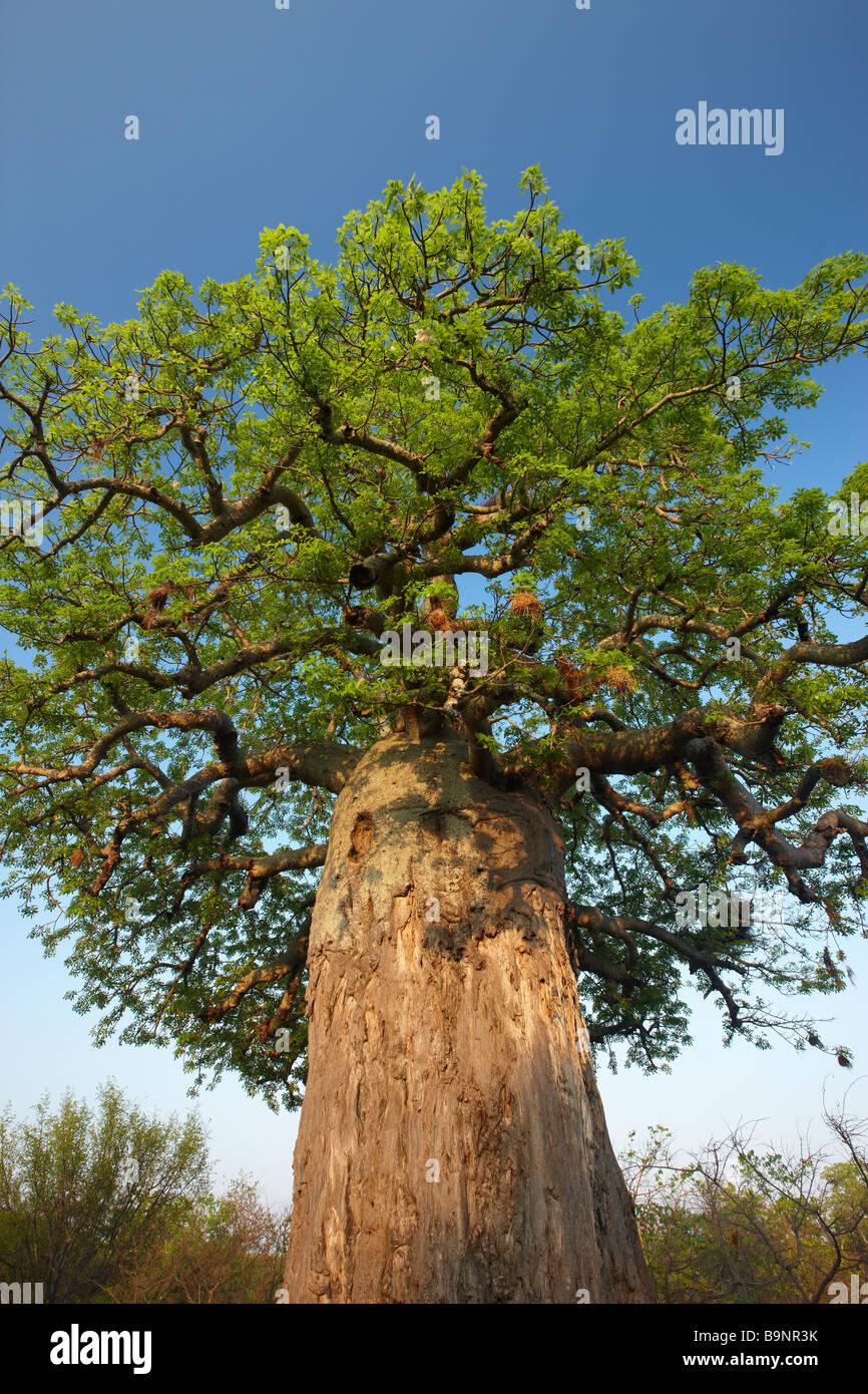 Árbol boabab, el Parque Nacional Kruger, Sudáfrica Imagen De Stock