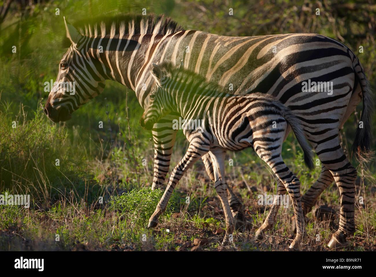 Burchells zebra con un potro en el monte, el Parque Nacional Kruger, Sudáfrica Imagen De Stock