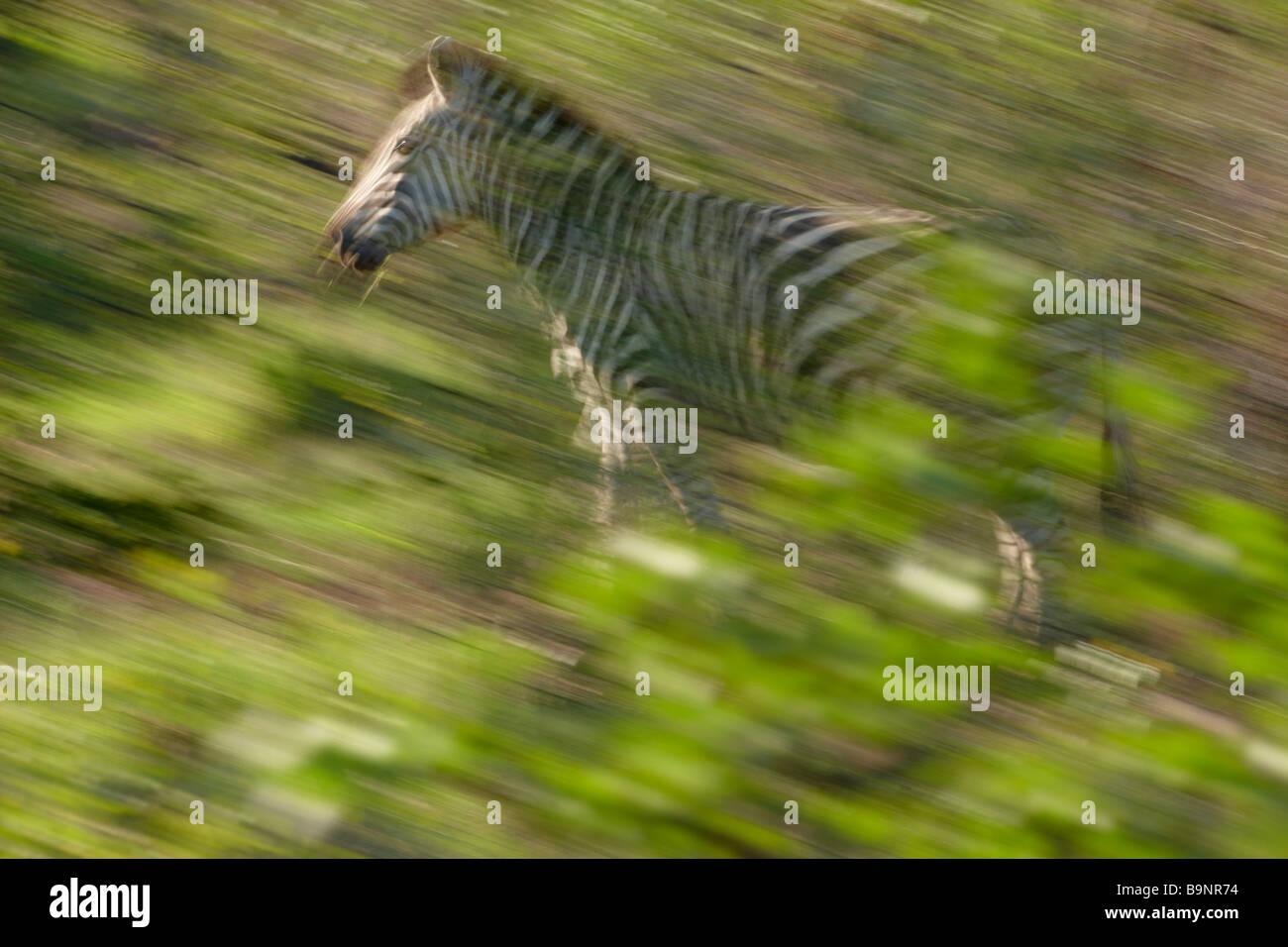 Cebra Burchells solitario sobre el movimiento, el Parque Nacional Kruger, Sudáfrica Imagen De Stock