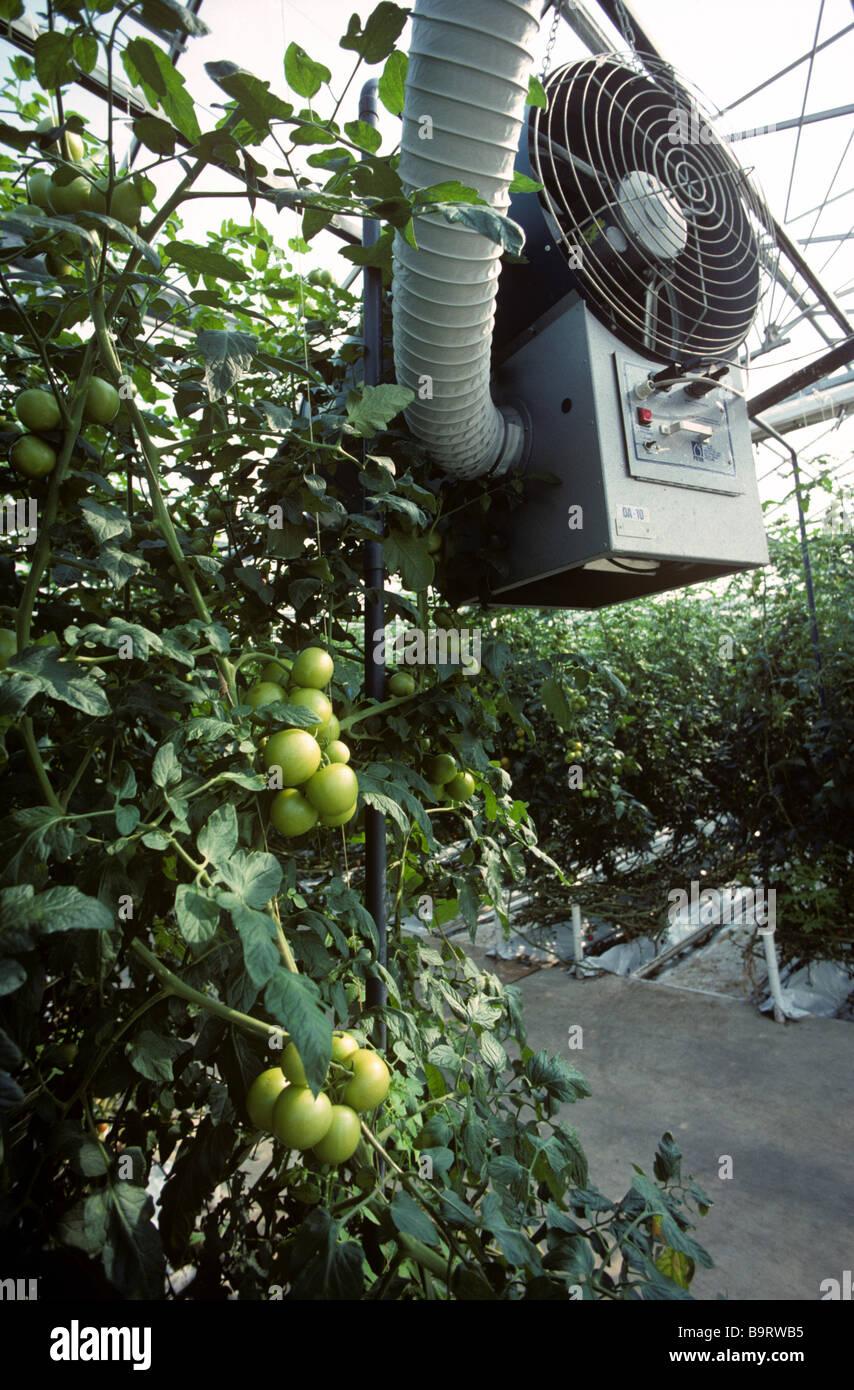 Conducto del ventilador de la calefacción en invernaderos comerciales de tomate grande Imagen De Stock