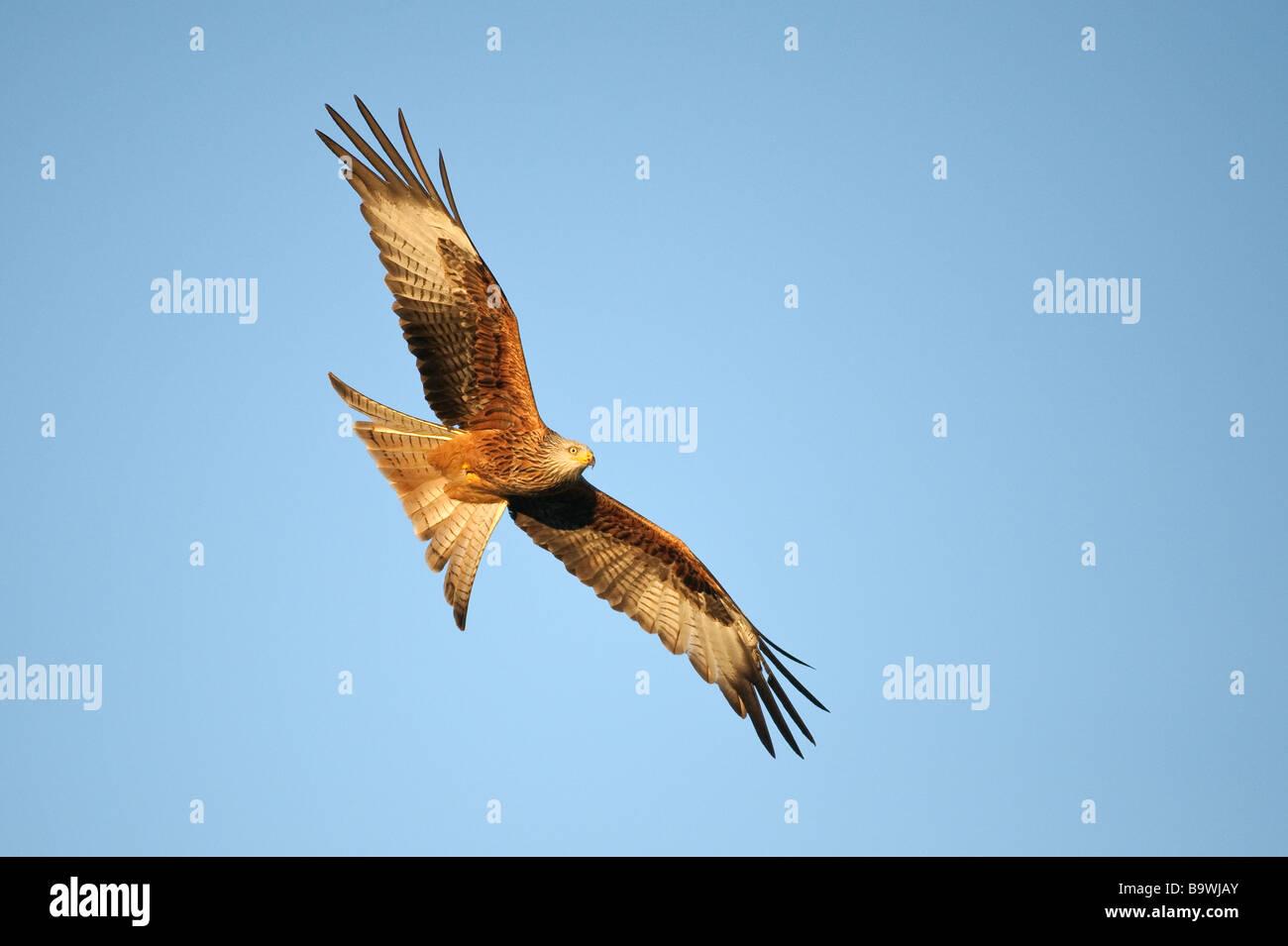 Red Kite Milvus milvus adulto en vuelo Gales Enero Foto de stock