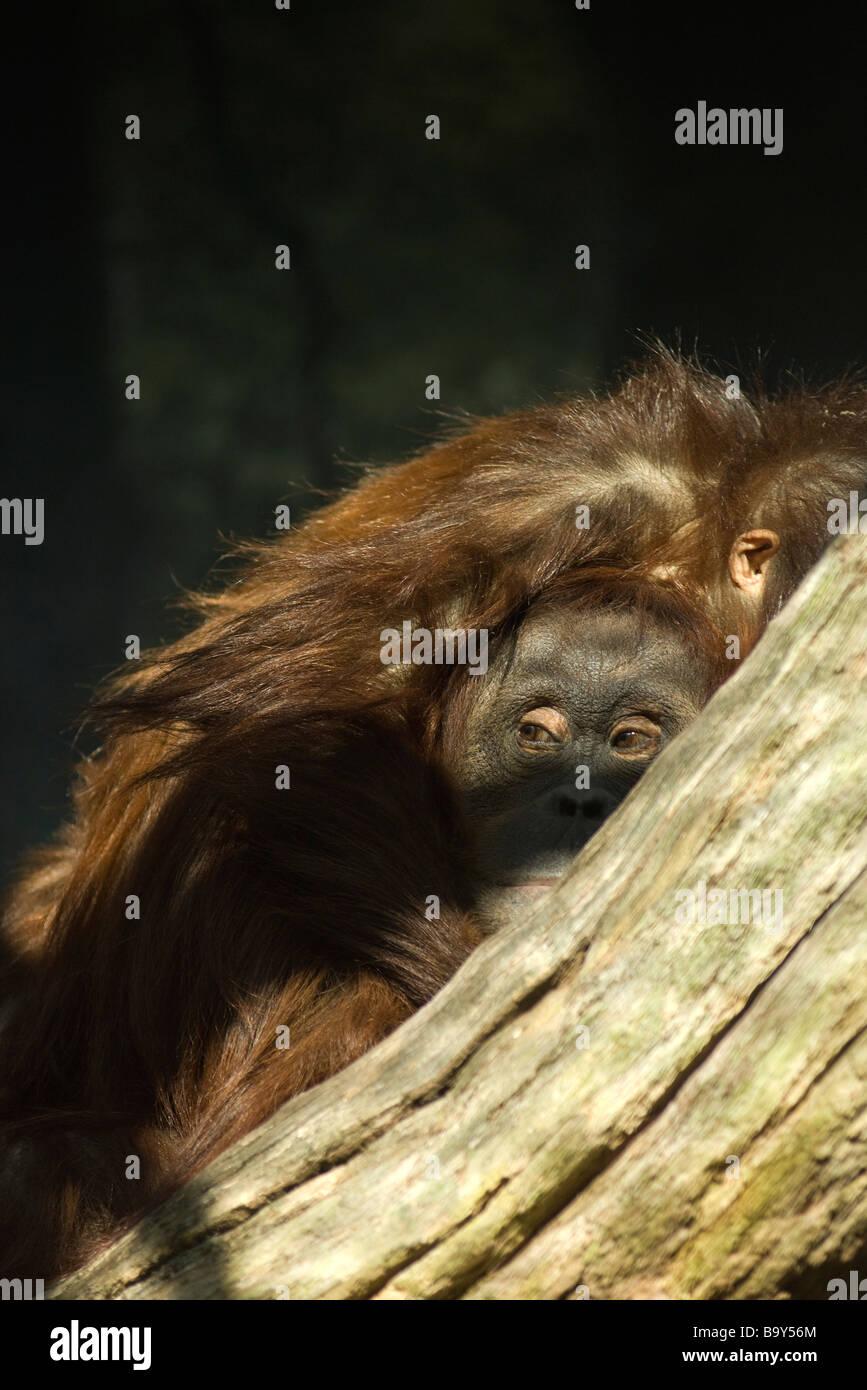 El orangután (Pongo pygmaeus) Foto de stock