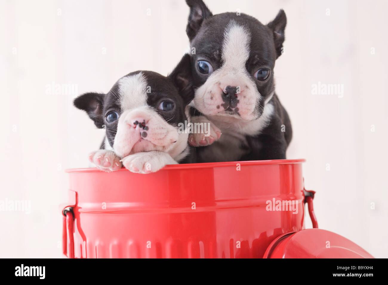 Dos Boston Terrier adulador en un cubo Imagen De Stock