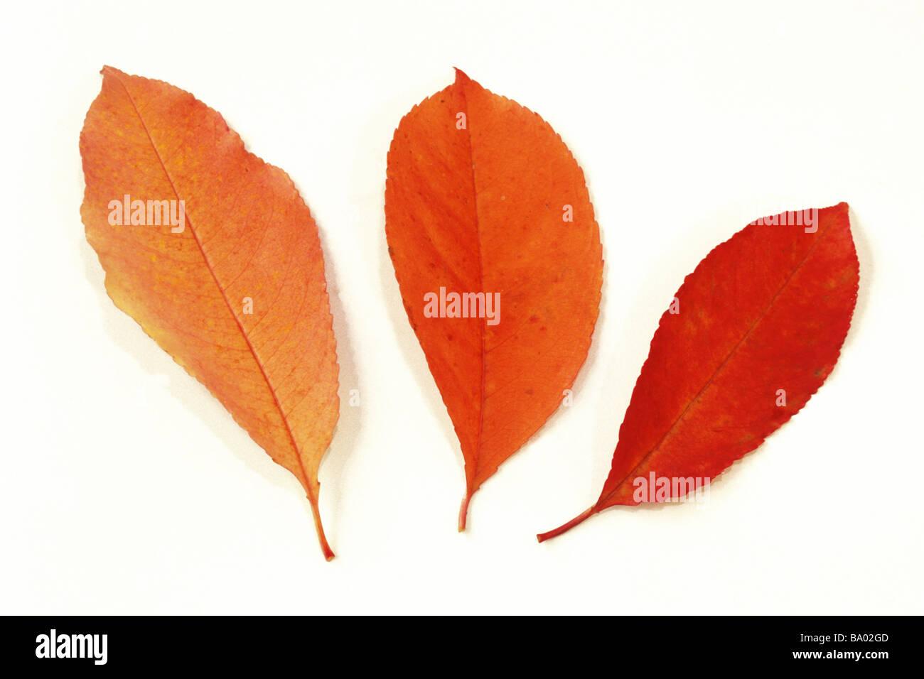 Bird Cherry Prunus padus tres hojas en otoño colores studio picture Foto de stock