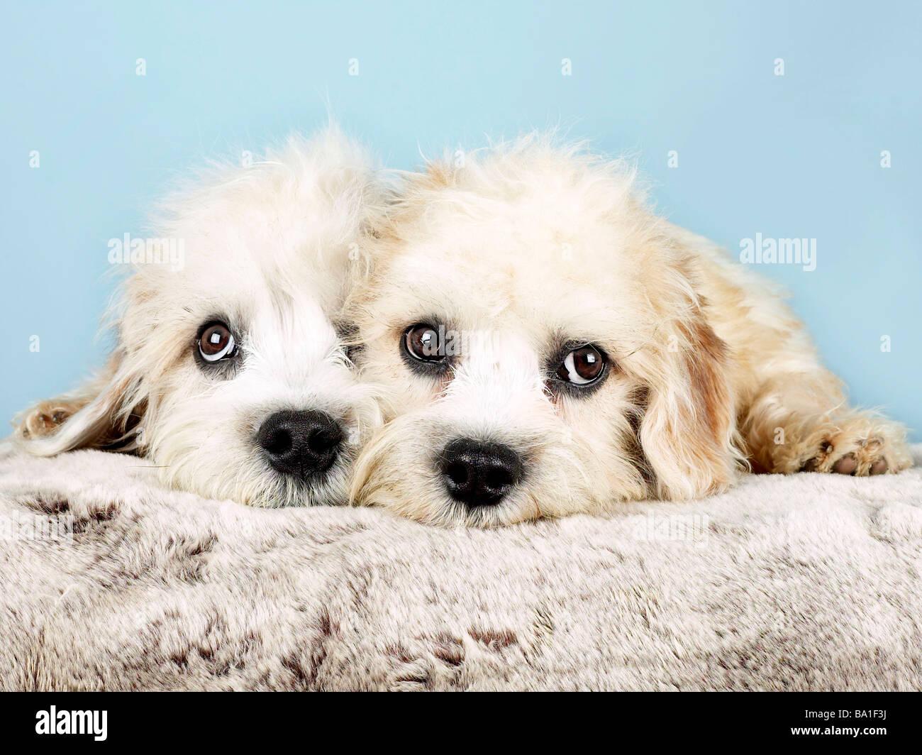 Dos pequeños dandie dinmont terriers Imagen De Stock