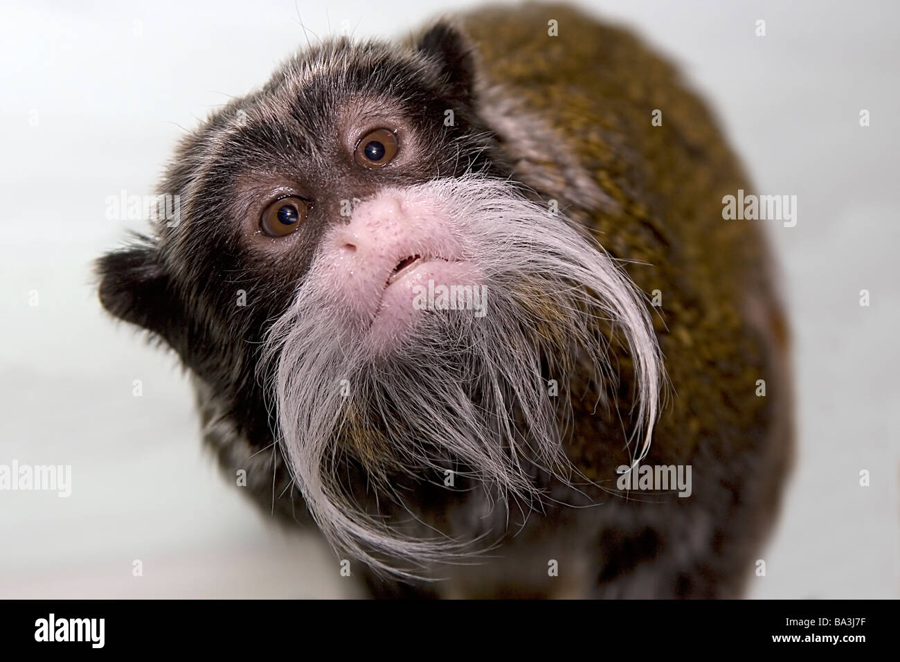 El Tamarin Emperador inquisitivo mono curioso impertinente bigote Saguinus imperator Imagen De Stock