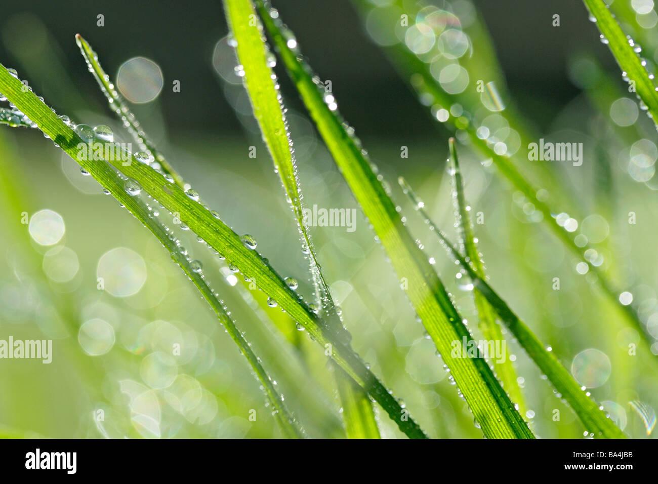 La hierba y las gotas Imagen De Stock