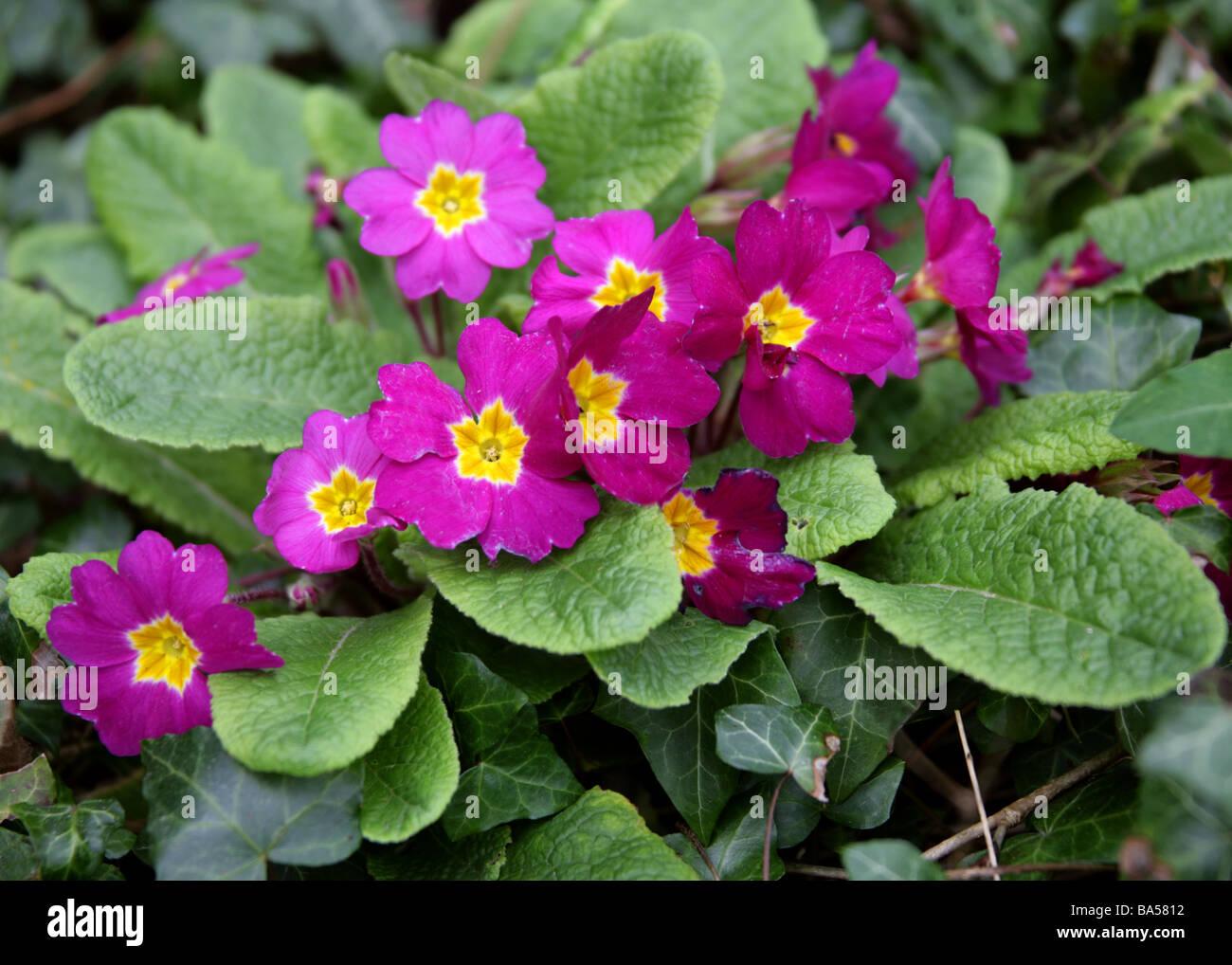 Jardín de color magenta, Primulas Primulaceae Imagen De Stock