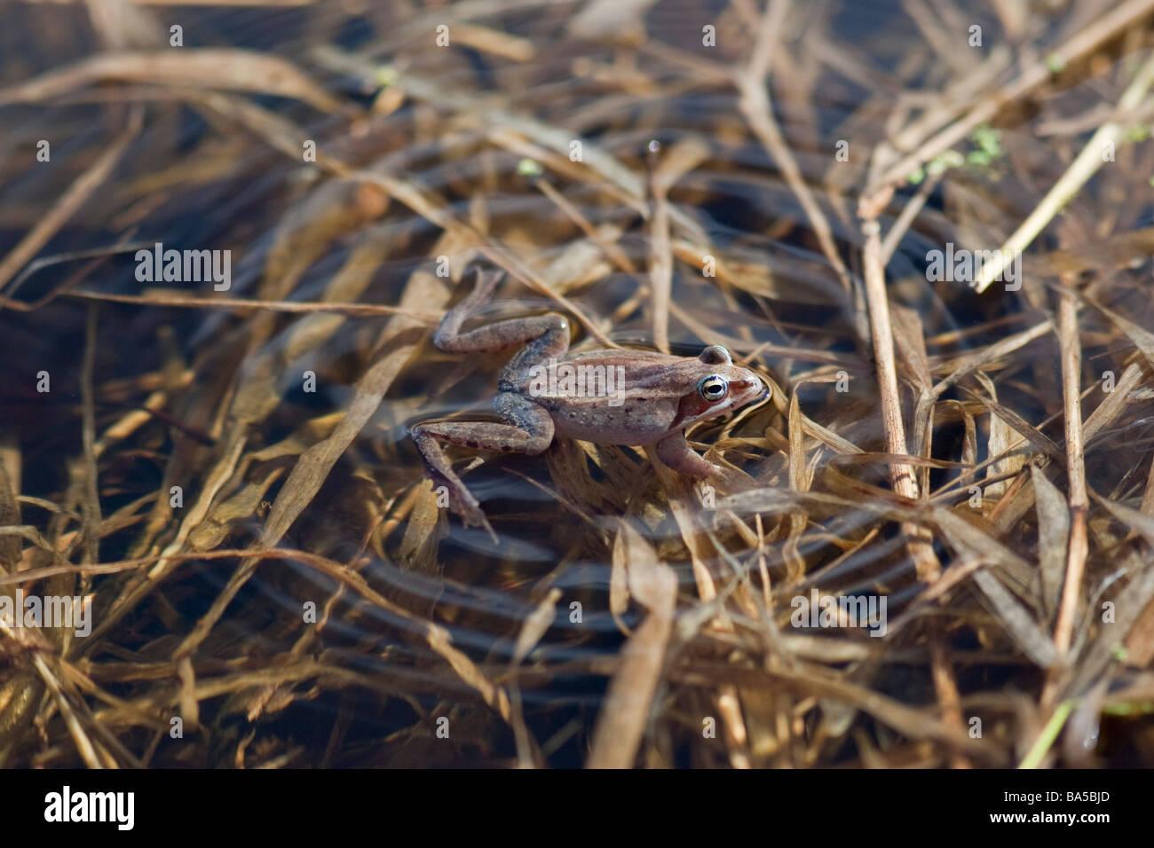 Una rana que flota en un estanque local buscando un compañero Foto de stock