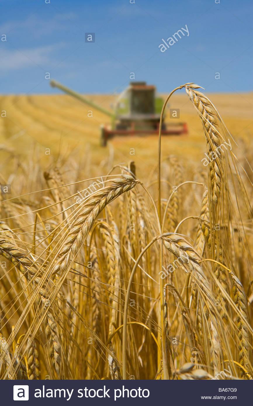 Cerca de la cebada con la cosechadora en segundo plano. Imagen De Stock
